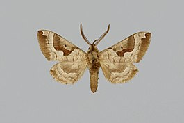 Ceridia mira BMNHE813635 male up.jpg