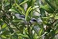 Cerulean Warbler (male) Anahuac NWR-Jackson Prairie Woodlot TX 2018-04-24 14-43-16 (42057523111).jpg
