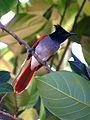 Ceylon paradise flycatcher (female) - Sri Lanka - 01.jpg