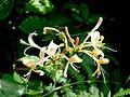 Chèvrefeuille honeysuckle lonicera periclymenum (992933009).jpg