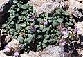 Chaenorrhinum origanifolium - Pyrenees 2.jpg
