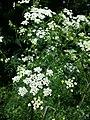 Chaerophyllum bulbosum sl24.jpg