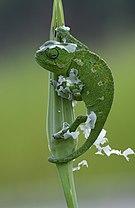 Chamaeleo chamaeleon - Common Chameleon - Bukalemun.jpg