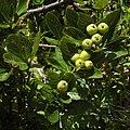 Chamaemespilus alpina RF.jpg