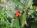 Chamaemespilus alpinus - Flickr - peganum (2).jpg