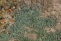 Chamaesyce polycarpa – Smallseed Sandmat - panoramio.jpg
