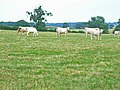 Charolais cattle at Lower Lynbrook Farm, Scotch Hill - geograph.org.uk - 198889.jpg