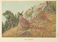 Cheer Pheasant by Louis Agassiz Fuertes.png