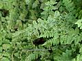 Cheilanthes lanosa kz4.jpg