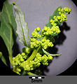 Chenopodium glaucum sl7.jpg