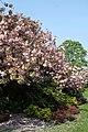 Cherry Blossom - geograph.org.uk - 2367174.jpg