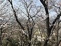 Cherry blossoms in Sasayama Park 15.jpg