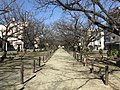 Cherry trees near Zasshonokuma Station 20180304-3.jpg