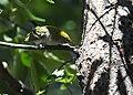 Chestnut-sided Warbler (30107056357).jpg
