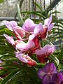 Chiang Mai Orchids P1110340.JPG