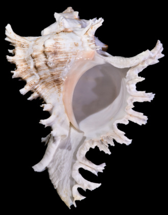 Chicoreus - Ventral view of a shell of Chicoreus ramosus