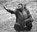 Chimp Does Hamlet.jpg