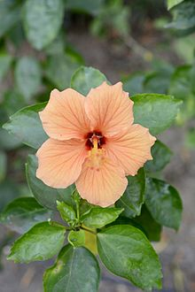 Hibiscus rosa sinensis wikivisually china rose ccuart Images