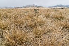 Chionochloa rubra in Burwood Bush Scientific Reserve 02.jpg