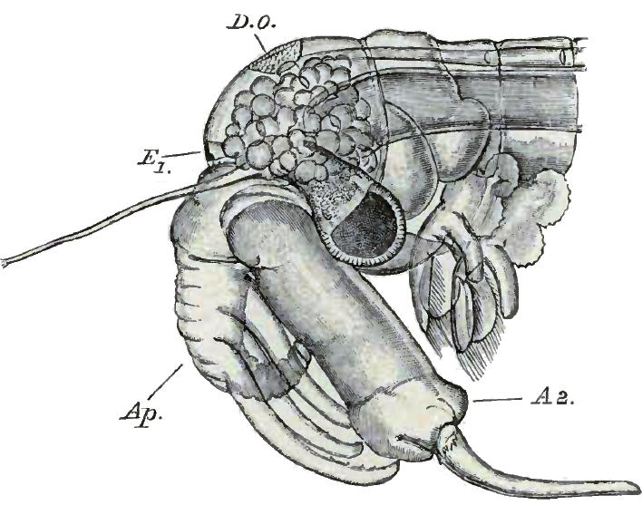 Chirocephalus diaphanus male head