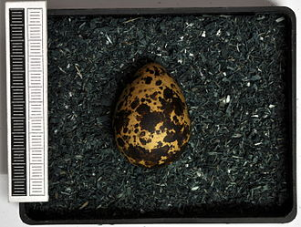 Black tern - Egg, Collection Museum Wiesbaden, Germany