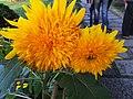 Chrysanthemums 菊花 - panoramio.jpg