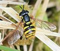 Chrysotoxum arcuatum (female) - Flickr - S. Rae.jpg