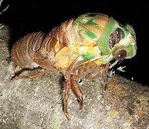 Eine sich häutende Zikade