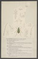 Cicindela - Print - Iconographia Zoologica - Special Collections University of Amsterdam - UBAINV0274 001 01 0006.tif