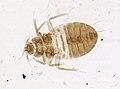 Cimex lectularius (YPM IZ 093678).jpeg