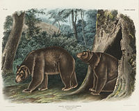 Cinnamon bear by J T Bowen after John James Audubon.jpg