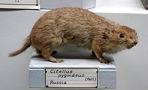 Little ground squirrel - Image: Citellus pygmaeus Museo Civico di Storia Naturale Giacomo Doria Genoa, Italy DSC02783