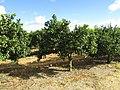 Citrus orchard, Branqueira, 13 October 2016 (2).JPG