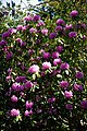 City of London Cemetery pink rhododendron 1.jpg