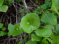 Claytonia perfoliata (4361294784).jpg