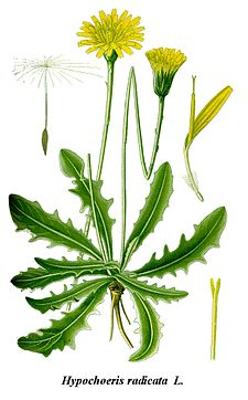 Cleaned-Illustration Hypochoeris radicata.jpg