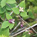 Clematis japonica.JPG