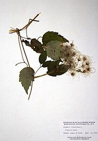 Clematis virginiana BW-1979-0914-0578.jpg