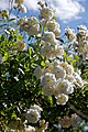 Climbing white rose at Boreham, Essex, England 2.jpg