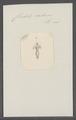 Cliodita caduceus - - Print - Iconographia Zoologica - Special Collections University of Amsterdam - UBAINV0274 080 08 0005.tif