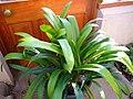 Clivia miniata (full plant).jpg