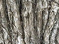Close-up of unidentified tree bark.jpg