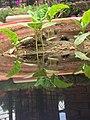 Cluster bean seedling.jpg
