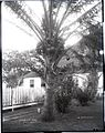 Coconut Tree (3), photograph by Brother Bertram.jpg