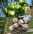 Cocos nucifera Fruits 02.jpg