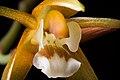 Coelogyne candoonensis Ames, Schedul. Orchid. 6 18 (1923) (28653757118).jpg