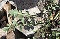 Coincya monensis leaf (1).jpg