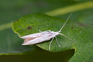 Coleophoridae - Adult of an unidentified case-bearer species
