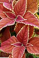 Coleus scutellarioides Rustic Orange 1zz.jpg