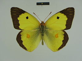 Colias fieldii male 01 dorsal side ZSM.jpg